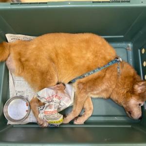【拡散希望★緊急】飼育放棄の16才犬、家族募集中(手術予定)