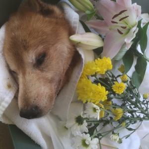 【拡散希望】飼育放棄高齢犬モカ、亡くなりました