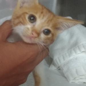 【拡散希望】生後1.5ヶ月、下半身麻痺♀猫、アリエル、交通事故