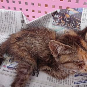 【拡散希望】骨盤骨折の子猫まりもちゃん家族募集中