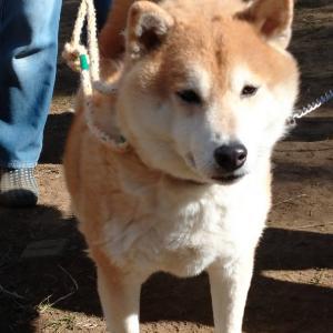 【拡散希望】怖めの柴犬ジン君、家族募集中(千葉市センター収容犬)