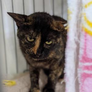 【拡散希望】サビ猫がっちゃん家族募集中、千葉市動物保護指導センターに収容中