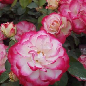 伊奈町薔薇園に行きました