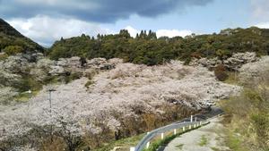 串木野市『観音ヶ池』の桜、満開