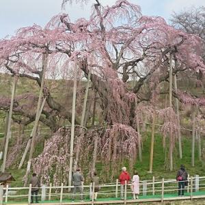 本日の三春の滝桜 (樹齢1000年)です。コロナの影響か、カップル以外は間隔を開けて見ていましたよ!