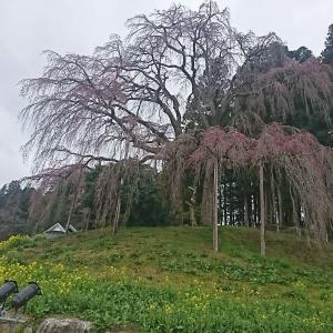 本日のサクラ、合戦場のしだれ桜(三春の滝桜の孫桜、二本松市)と三角油あげ こちらは入場無料です。ゆっくり見れますよ。
