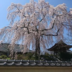 本日のサクラ、昌建寺(泉崎村)のしだれ桜です。風になびくサクラがとてもきれいでした。近くの「うお政」さんも、マイウ~でしたよ!