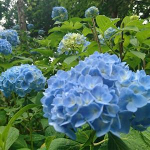 あじさい寺、小雨ふる中で咲くステキなアジサイです。お楽しみ下さい!