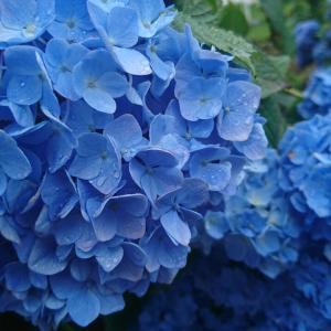 デイープ、ブルー ( 深海の色)ついに見つけました!アジサイのステキな色です。お楽しみ下さい!