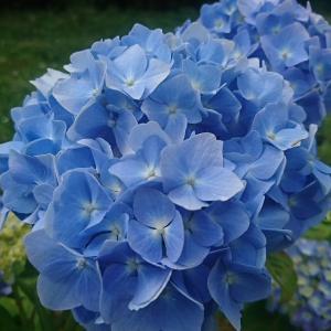 咲きました、咲きました!華麗なアジサイの饗宴です。お楽しみ下さい。