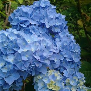 デイープ、ブルー!アジサイ寺、高林寺行って来ました!さすがに青さがちがうね、お楽しみ下さい!
