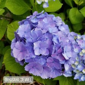「紫陽花は綺麗だけど」@2020.6.14:おうちで花見
