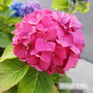 ピンクの紫陽花・花言葉:開運