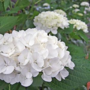 白の紫陽花・花言葉:開運