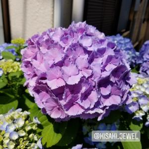 紫陽花共通の花言葉:開運