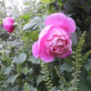 秋のバラは深い色
