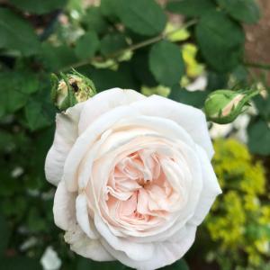 今日は白バラ