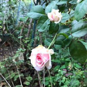 アミロマンティカとか咲いてきたバラ