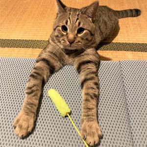 猫じゃらし催促と朝のルーティン身についてきた!