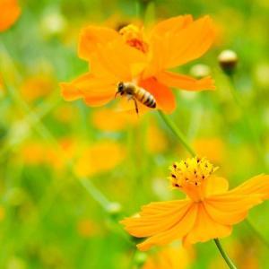 マクロレンズで蜜蜂撮影に挑戦