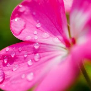雨露に輝く幻想的な赤い花