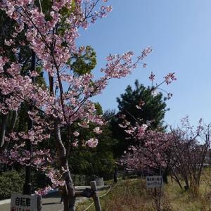 早咲きの桜と可愛い訪問者♪