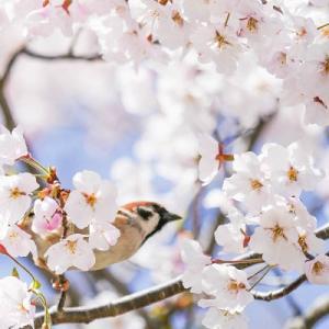 満開間近の桜と野鳥達