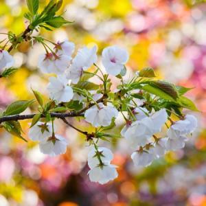 春の日差しに輝く大振りの桜
