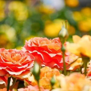 初夏にきらめくオレンジと黄色のバラ