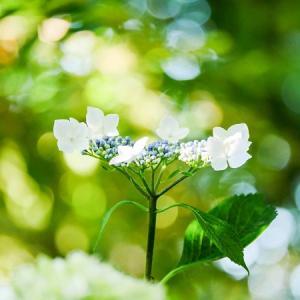 夕暮に輝く初夏の花♪