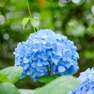 雨上がりに可憐に咲く青い花