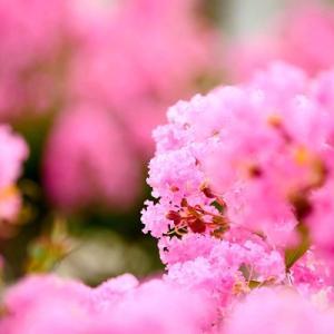 暑い夏に写真映えするピンクの花
