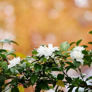 今見頃の初冬の花