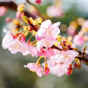 早咲きの桜。。。