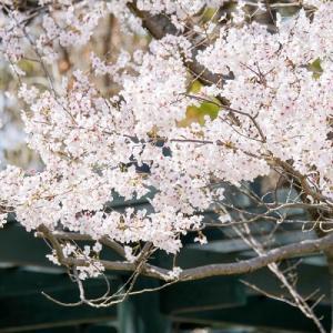 春爛漫:早咲きのソメイヨシノ♪