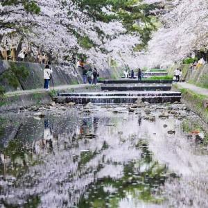 花筏が綺麗な夙川公園。。。