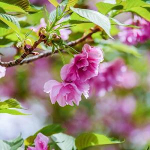 新緑の中で輝く桜。。。