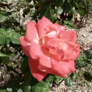シャリスのドメーヌ・広いお庭にバラ園&ハーブ園。