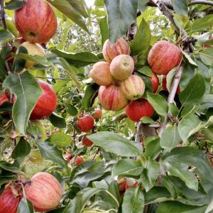 例年より早くりんご狩りの季節が始まりました☆