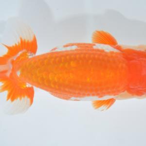 西日本金魚愛好会品評大会 二歳魚の部