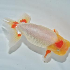 入荷金魚をご紹介します