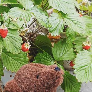 イチゴとラズベリー収穫