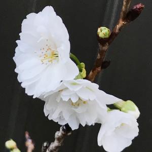 今日は海軍記念日と、子福桜