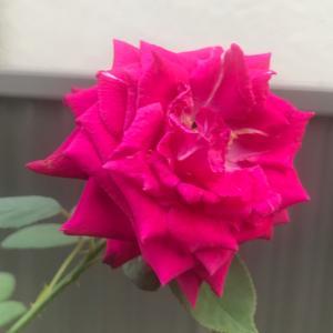 今日は女子大生の日と、バラ・グレーフィンディアナ