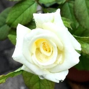 今日はニューヨークの日と、バラ・ヨハネパウロ二世