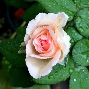 今日はコスモスの日と、秋剪定と、バラ・ルイの涙