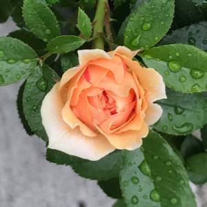 今日は終戦記念日と、バラ・ガーデンオブローゼズ