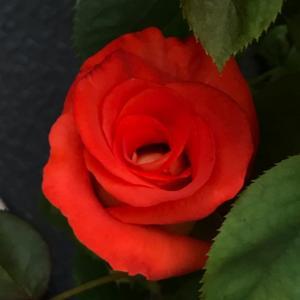 今日はバイオリンの日と、バラ・レオニダス