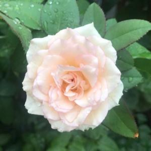 今日は防災の日と、バラ・ルイの涙