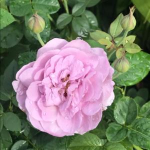今日はAmeba17周年の日と、バラ・しのぶれど